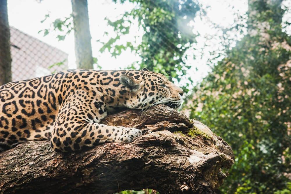 Dierenpark Emmen Leopard