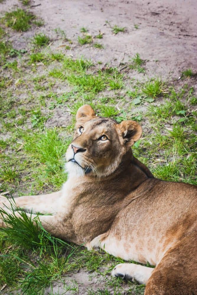 Dierenpark Emmen Löwe