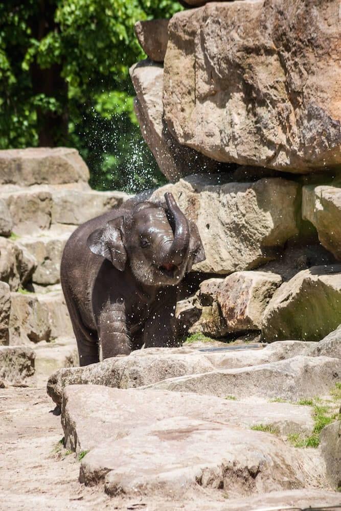 Dierenpark Emmen Elefantenbaby