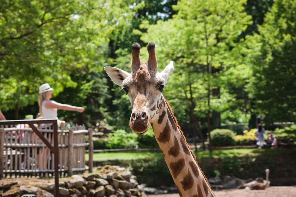 Dierenpark Emmen Giraffe